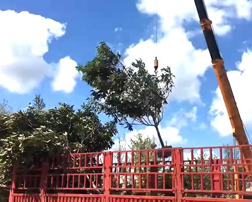 枇杷树发货