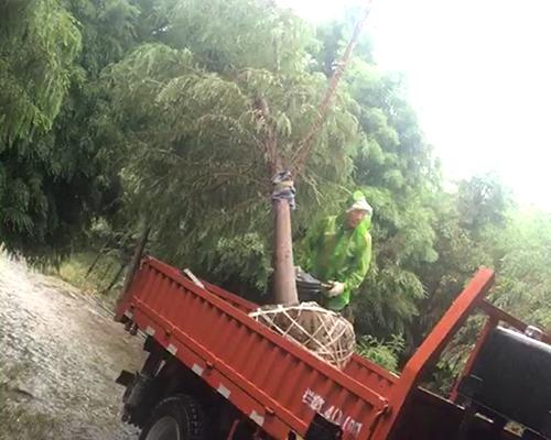 水杉树发货