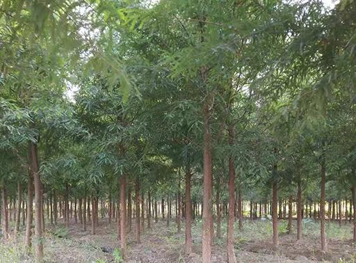 中山杉年平均材积生长量比落羽杉多多少