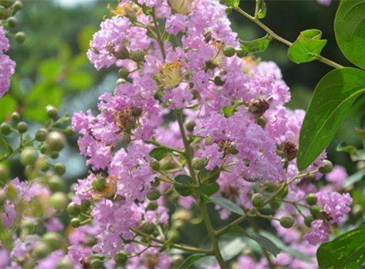 紫薇树批发