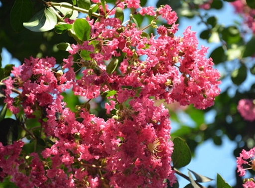 紫薇树价钱