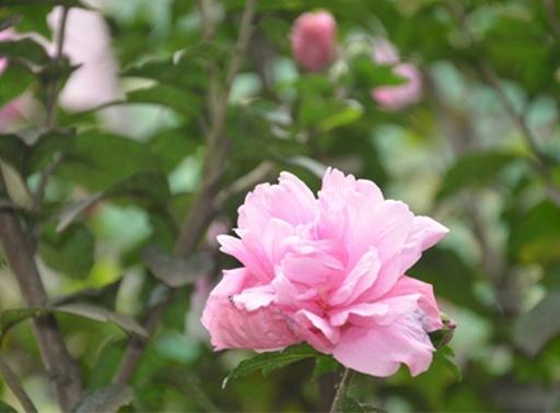 木槿树苗价格