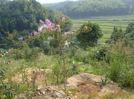 紫薇树供应