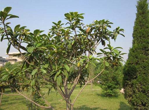 枇杷树供应