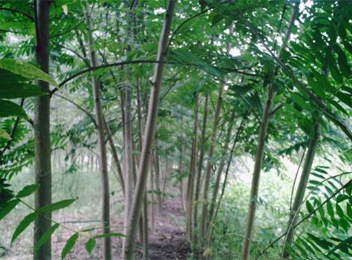 银杏树种苗