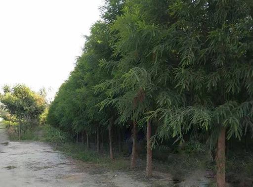 中山杉供应