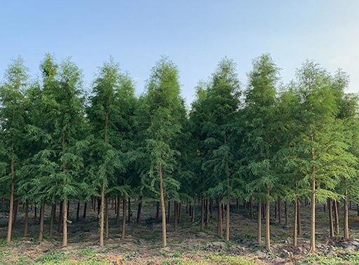 中山杉种植